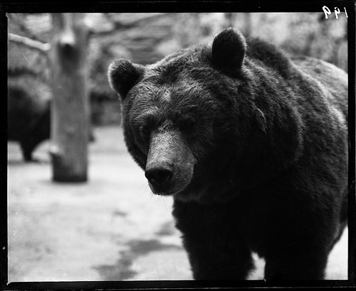 American Black Bear. Part of the Illinois Urban Landscapes Project: www.fieldmuseum.org/urbanlandscapes/
