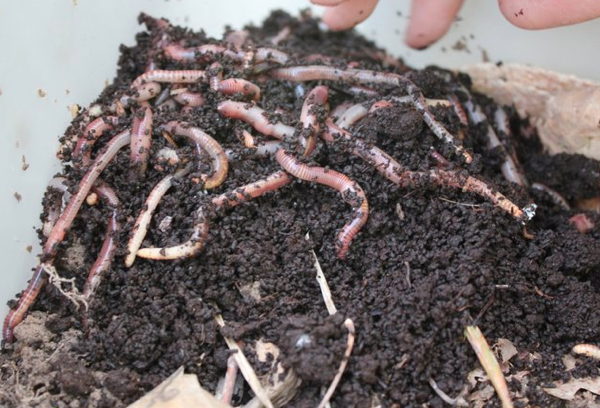 Five Steps to Vermicompost!