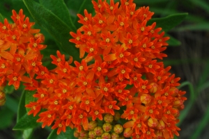 Butterfly_Milkweed_(Asclepias_tuberosa)